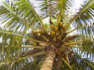 Кокосовая пальма (фото А.А. Банщиковой)