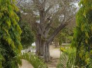 Баобаб на территории корпуса католической миссии, Багамойо (фото Н.Е. Хохольковой)