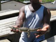 Ферма по разведению крокодилов в Каоле (автор Д.М. Бондаренко)