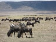Заповедники и национальные парки – основа развития туризма в Танзании. Самый знаменитый заповедник – Нгоронгоро на севере страны (автор А.Д. Саватеев)