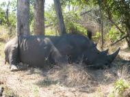 Носорог (фото Д.М. Бондаренко)